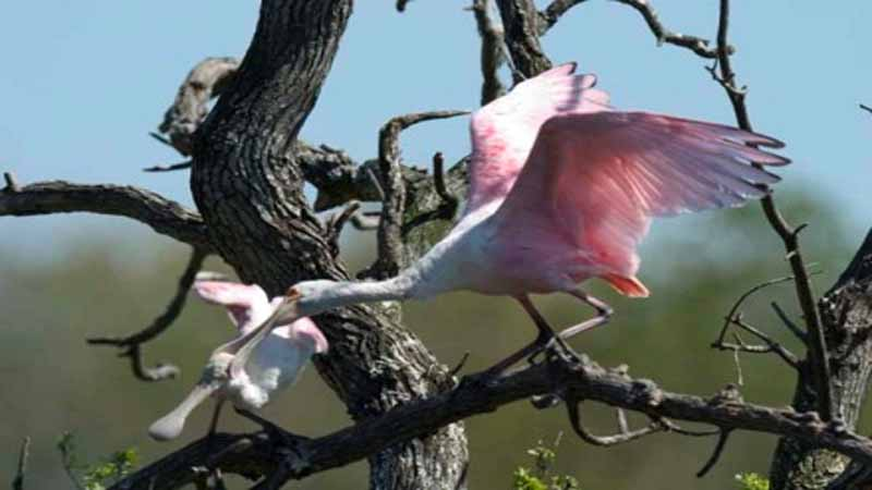 Roseate Spoonbills in the Space Coast